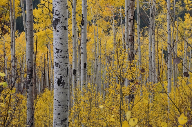 Aspen trees Colorado